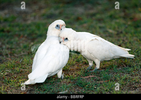 Little Corella, Cacatua sanguinea is an Australian parrot and a member of the cockatoo family. Pair together cleaning - Stock Photo