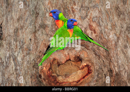 Rainbow Lorikeets, Trichoglossus haematodus, mating pair outside their nest which is built in the hollow of a gum - Stock Photo