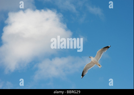 Larus canus. Hovering common gull against blue cloudy sky. Isle of Harris, Outer Hebrides, Scotland - Stock Photo