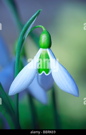 Galanthus Elwesii Snowdrop Elwesii flower England Winter - Stock Photo
