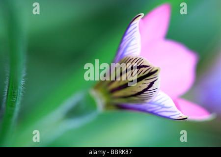 Sand crocus Romulea tetragonal flower England Spring - Stock Photo
