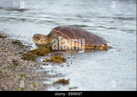 Pacific Green Turtle (Chelonia mydas agassisi) Punta Espinosa Fernandina Island Galapagos Ecuador Pacific Ocean - Stock Photo