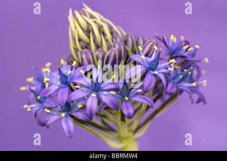 Scilla peruviana Peruvian lily flower Glasshouse England Spring - Stock Photo