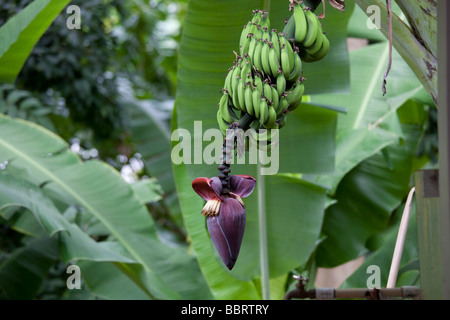 Banana tree in flower Molokai Hawaii - Stock Photo