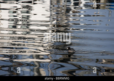 American Coot and Fishing Boat Reflections - Stock Photo