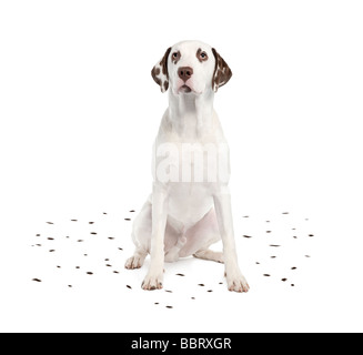 Dalmatian shedding its spots in front of a white background - Stock Photo