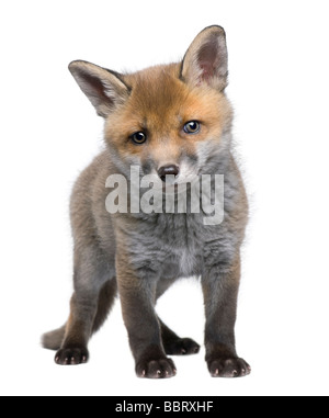 Red fox cub 6 Weeks old Vulpes vulpes in front of a white background - Stock Photo