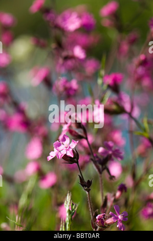 Red campion Silene dioica - Stock Photo