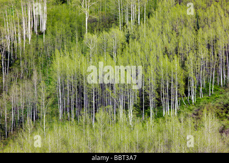 Aspen trees create color and patterns on the mountainsides in the Maroon Bells Snowmass Wilderness Area near Aspen - Stock Photo