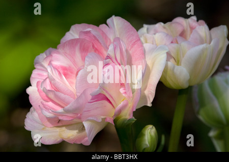 Peony tulips in bloom - Stock Photo
