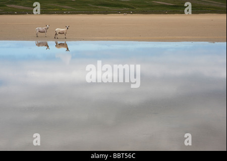 Sheep and their reflections in water on Traigh Scarista beach, Isle of Harris, Outer Hebrides, Scotalnd - Stock Photo