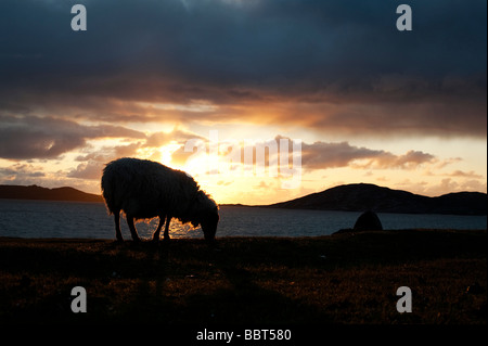 Sheep grazing silhouette against a sunset over Sound of Taransay , Isle of Harris, Outer Hebrides, Scotland - Stock Photo