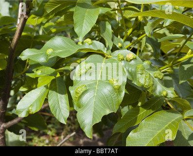 Damage to leaves of Walnut Tree caused by Aceria erinoea - Gall mite - Stock Photo