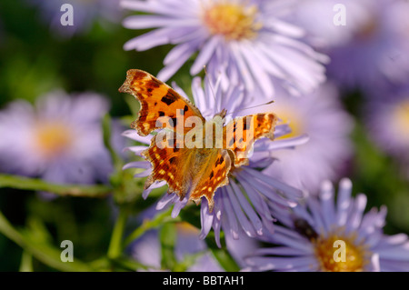 Comma Polygonia c album On Aster Photographed in UK - Stock Photo