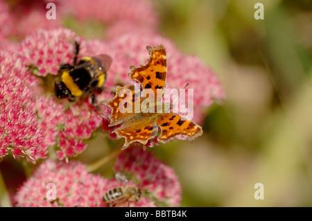 Comma Polygonia c album On Sedum spectabile Photographed in UK - Stock Photo