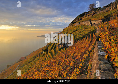 The Swiss vineyards of Lavaux on the side of Lac Leman Lake Geneva in the autumn evening sunlight. A UNSECO World Heritage site.