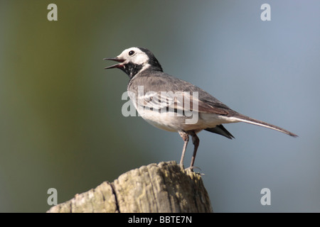 Pied Wagtail. - Stock Photo
