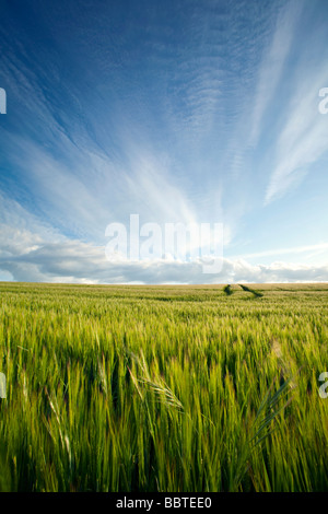 A summer sky over a ripening cornfield - Stock Photo