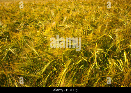A close in image of ears of barley ripening in a field - Stock Photo
