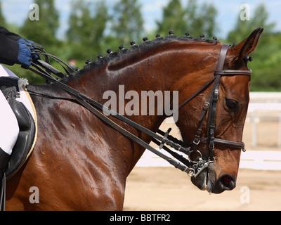 Dressage horse portrait - Stock Photo