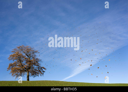Falling leaves and oak tree in autumn - Stock Photo
