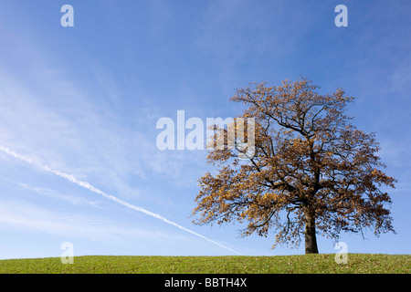 Oak tree on hill in autumn - Stock Photo
