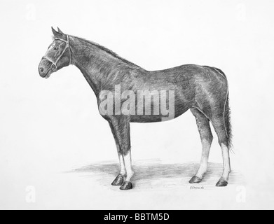 Pencil drawing of a Hanoverian Horse - Stock Photo