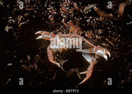 Rock Crab Cancer irroratus swimming New England North Atlantic Ocean - Stock Photo