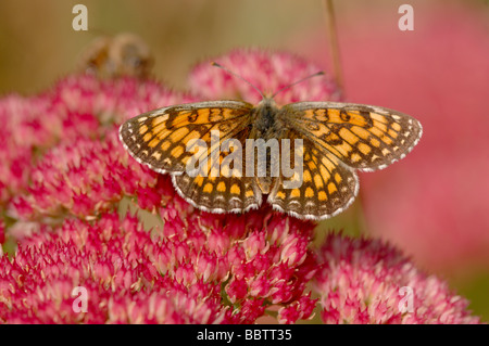 Heath Fritillary Melitaea athalia On Sedum flower Photographed in France - Stock Photo