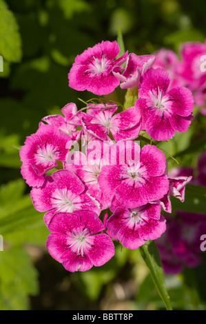 Sweet William Flowers Dianthus Barbatus - Stock Photo