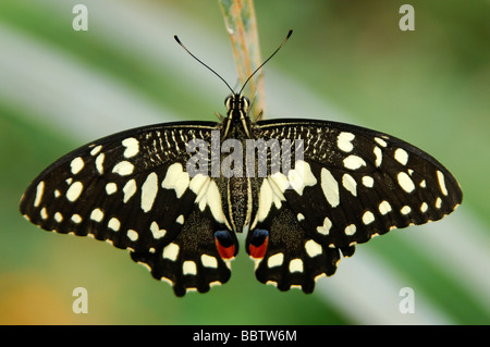 Colourful eye spot on the wing of a Citrus Swallowtail Butterfly, Papilio demodocus - Stock Photo