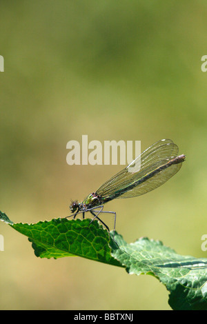 Female Banded Demoiselle banded blackwings banded agrion Calopteryx splendens at rest - Stock Photo