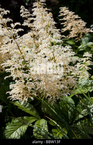 Aruncus sylvester goatsbeard rosaceae white with glossy shiny green leaves, dioicus - Stock Photo