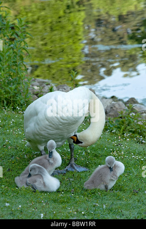Three mute swan Cygnus olor cygnets preen beside parent on lawn beside the Lake after early morning feed in Lake - Stock Photo