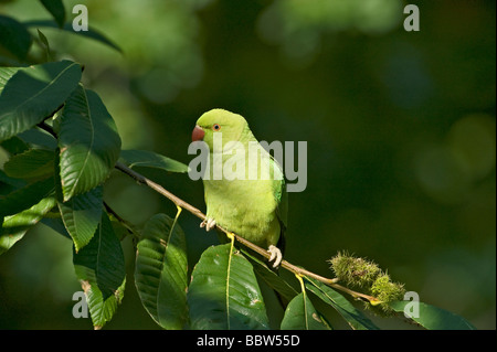 Ring necked parakeet Psittacula krameri perching in sweet chestnut Castanea sativa - Stock Photo