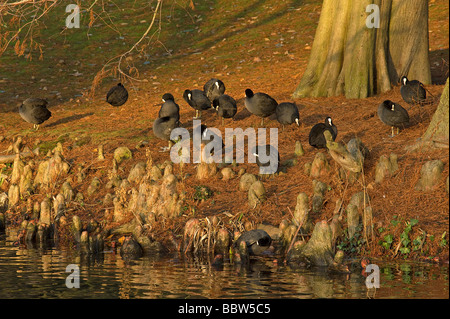 Eurasian coots Fulica atra preening on bank amongst Taxodium aerial roots after feeding on a cold winter morning - Stock Photo