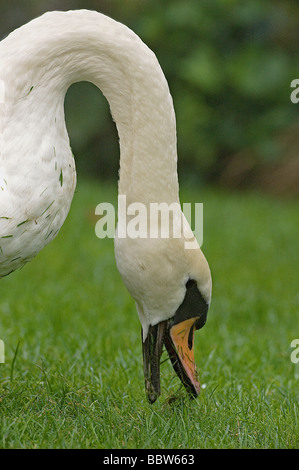 Mute swan Cygnus olor grazes on grass with dew early in morning at Kew - Stock Photo