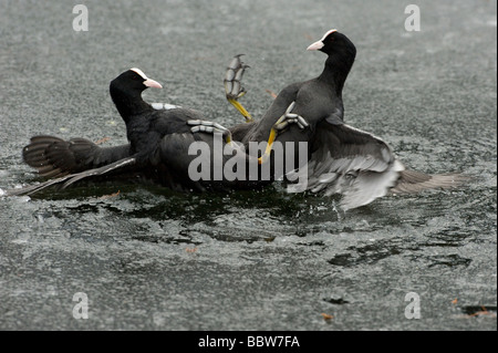 Coots Fulica atra fighting on ice - Stock Photo