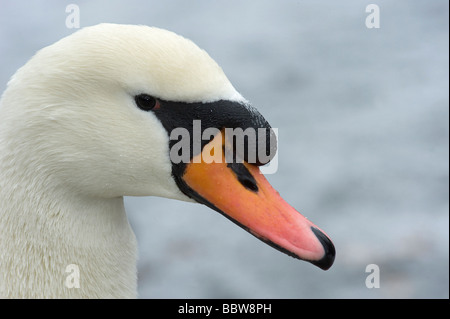 Male mute swan Cygnus olor is known as a cob and has a more prominant black knob above the bill then the female - Stock Photo