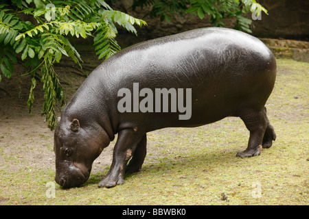 Germany Berlin Zoo pygmy hippopotamus choeropsis liberiensis - Stock Photo