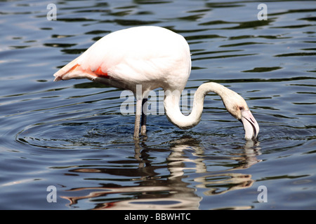 Greater Flamingo Phoenicopterus roseus Feeding At Martin Mere WWT, Lancashire UK - Stock Photo