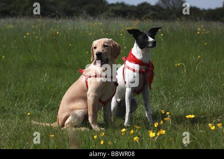 thoroughbred,Mixed-breed dog,LABRADOR RETRIEVER