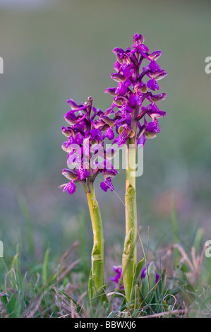 Green-winged Orchid or Green-veined Orchid (Orchis morio) - Stock Photo