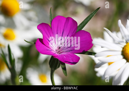 Flowering violet Corn Cockle (Agrostemma githago) among white moon daisies, ox-eye-daisy (Leucanthemum vulgaris) - Stock Photo