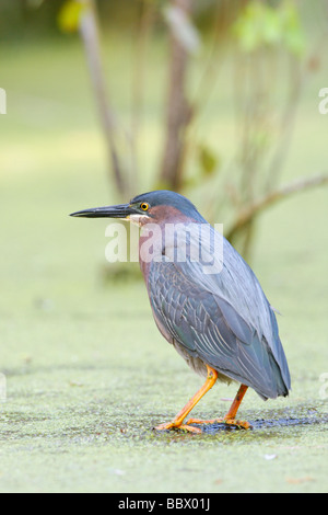 Green Heron - Vertical - Stock Photo