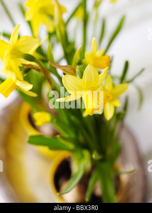 Daffodils in a pot Sweden. - Stock Photo