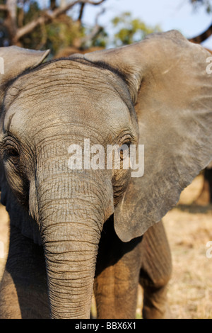 African elephant Loxodonta africana Young calf play charging South Africa Dist Sub Saharan Africa - Stock Photo