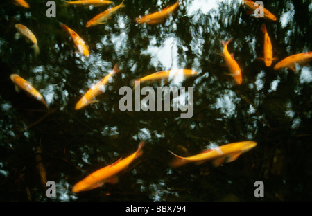 Fish swimming in water - Stock Photo