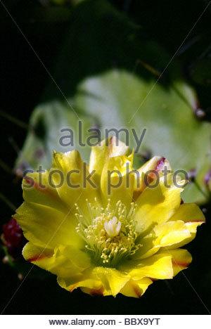 Opuntia ficus-indica | flower of Indian Fig Opuntia cactus | fleur de Figuier de Barbarie - Stock Photo
