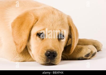 Golden Labrador Retriever puppy Canis familiaris Close up portrait of Labrador Popular working dogs - Stock Photo